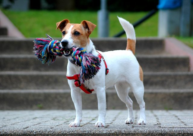 Fox Hunters: 5 Books About Jack Russell Terriers
