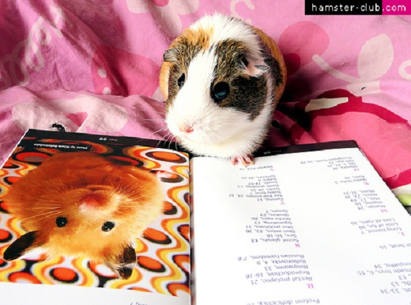 SOURCE: guineapigsandhamsters.com