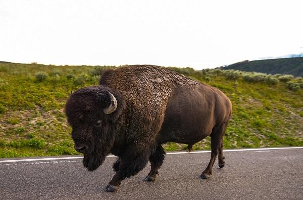 bison-1630355_960_720