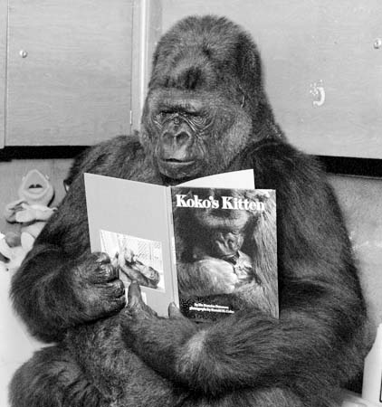 KOKO1-C-01SEP00-MN-HO Koko reads a copy of KoKo's Kitten. For the Chronicle/Dr. Ronald H. Cohn. HANDOUT from Kevin Connelly, The Gorilla Foundation/Koko.org